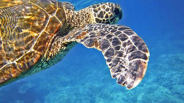 ハワイのウミガメ